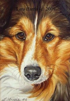 Sheltie by Lara Harris 2009
