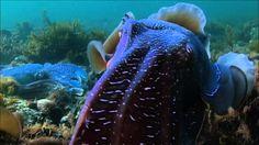 NOVA: Kings of Camoflage - cuttlefish