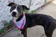 2/14/17 IN FOSTER CARE: **NOT AT SHELTER – IN ACC FOSTER******FOR MORE INFORMATION CONTACT: accfosters@nycacc.org***  My name is LELA aka AUBREY. My Animal ID # is A1095777. I am a spayed female br brindle and white am pit bull ter mix. The shelter thinks I am about 2 YEARS, 3 MONTHS  I came in the shelter as a STRAY on 11/03/2016 from NY 10457, owner surrender reason stated was STRAY.