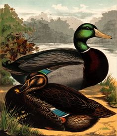 J.W. Ludlow. Pair of Rouen Ducks. #birds #naturalhistory