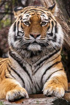 Siberian Tiger by Mladen Janjetovic