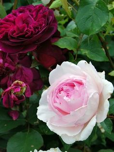The Wedgewood Rose tillsammans med Munstead Wood