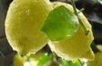 come-fare-lo-sciroppo-di-limone