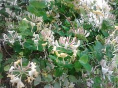 kaprifol blommar