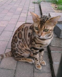 The Ocicat Cat is an all-domestic breed of cat which resembles a wild cat but has no wild DNA in its gene pool. The breed is unusual in that it is spotted like a wild cat but has the temperament of a domestic animal. Fluffy Cat Breeds, Asian Leopard Cat, Ocicat, Egyptian Mau, Spotted Cat, All About Cats, Cat Costumes, Domestic Cat, Cats And Kittens