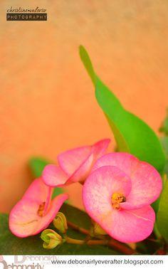 Euphorbia on the yard.