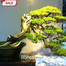 Time-Limit!!100pcs/lot Cypress Tree Seeds Sabina Chinensis Seeds Chinese Ornamental Bonsai Plants Decorative DIY,#ZIRADE(China (Mainland))
