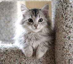 Siberian forest kitten.