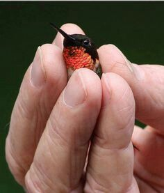 Bee hummingbird ~World's smallest bird ❤CMM