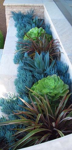 Blue Senecio planted around other succulents