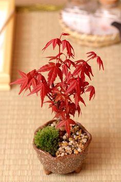 mini bonsai - I need some bonsai trees for my house