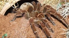 Goliath Birdeater, Tarantula in S.These 10 Wildlife Creatures Will Give You Nightmares Scorpion, Beautiful Creatures, Animals Beautiful, Large Spiders, Interesting Animals, Bugs And Insects, All Gods Creatures, Reptiles And Amphibians, Weird And Wonderful