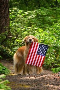 The brave, selfless, and devoted military dogs who are killed in action while protecting our troops deserve to be honored along with the human soldiers who have fallen in battle. Take some time to remember and thank them as you enjoy this Memorial Day. American Spirit, American Pride, American Flag, I Love America, God Bless America, Patriotic Pictures, Doodle, Killed In Action, Golden Retriever Mix