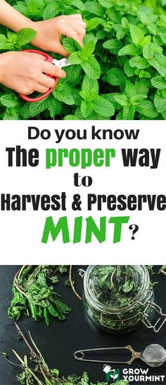 Do you know the proper way to harvest and preserve mint? #garden#herb#mint#growyourmint #summervegetablegardening