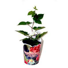 140mm Rubus Ulmifolius Berrylicious Blackberry Thornless Chester