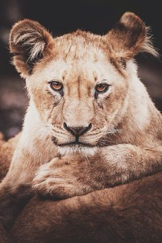 Lion by (Peter Hausner)