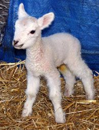 This little lamb, named Carrot, was born this week at 2 pounds 6 ounces. Photo by Sue Weaver