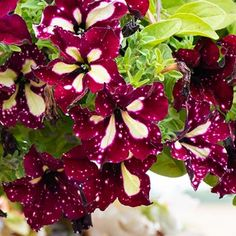 Petunia 'Starry Sky Burgundy' Rare Flowers, Cut Flowers, Star Show, Beneficial Insects, Annual Plants, Drought Tolerant, Petunias, Bright Green, Gardening Tips