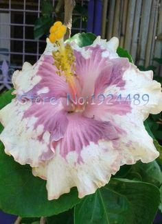 24 different colors blooming hibiscus seed Japanese bonsai garden patio potted flowers 50PCS