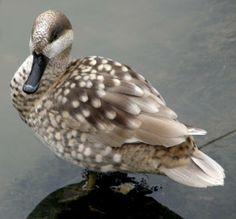Marbled Duck (Marmaronetta angustirostris) Europe, North Africa and the Middle East Duck Species, Pet Pigeon, Teal Duck, What The Duck, Red Bill, Duck Art, Ostriches, Blue Wings, Duck Hunting