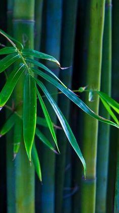 "chasingrainbowsforever: "" Colors ~ Blue and Green "" Bamboo Art, Bamboo Garden, Bamboo Plants, Giant Bamboo, Photographie Macro Nature, Green Colors, Blue Green, Bamboo Wallpaper, Foto Macro"