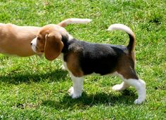Baby beagles are the best!