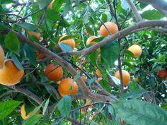 Naranjos en Paterna, Valencia