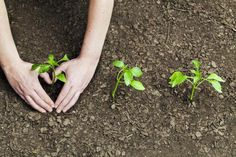 Vegetable plants that are seeded directly in the garden often sprout too close together. When that happens, the vegetable plant seedlings will need to be thinned out and given space to grow. Here's a list of which vegetables to thin and how far to space them