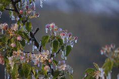 Da metà aprile ad inizio maggio la Primavera in Val Venosta con il risveglio della Natura Infinite distese d'incantevoli fiori rosa e bianchi, sono i meleti in Val Venosta che diffondono nell'aria un profumo fresco e delicato. Da metà aprile ad inizio maggio in Val Venosta la fioritura dei meleti è una meraviglia tutta naturale. Aria tersa e pulita, minuscole malghe arroccate sui crinal