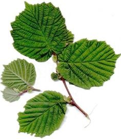 hassel – Google Søk Plant Leaves, Google, Plants, Plant, Planets