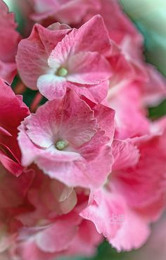 ~~tickled pink ~ hydrangeas by cbiiidesigns~~