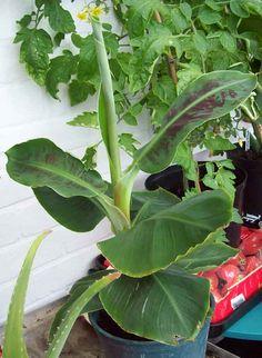 Banana Dwarf Cavendish. http://www.mandycanudigit.co.uk/#!figs-bananas/cxq4