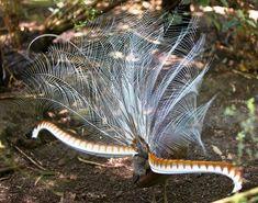 The impressive tail feathers of a displaying male Superb Lyrebird Most Beautiful Birds, Animals Beautiful, Beautiful Creatures, Adorable Animals, What Is A Bird, Bird People, Unusual Animals, Australian Animals, Nature Animals