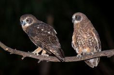 Southern Boobook Owl (Ninox boobook)