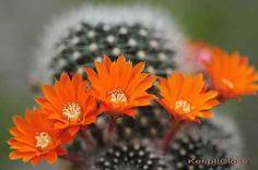 orange Rebutia flavistyla cactus flowers