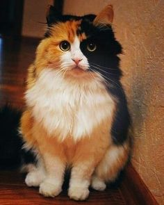 I really want a calico cat. like REALLY want a calico cat Pretty Cats, Beautiful Cats, Animals Beautiful, Pretty Kitty, Gorgeous Lady, Hello Beautiful, Cute Cats And Kittens, Cool Cats, Ragdoll Kittens
