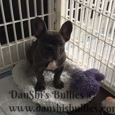 This sweet boy is available again.. Price has been reduced!  Unfortunately the buyers had some unforeseen circumstances come up and can not take him.   He's a Blue Brindle and may carry the chocolate gene!  Parents and grandparents are health tested with OFA certifications for genetic disorders, and More..  For more information please visit http://danshisbullies.com/puppies/french-bulldogs/  #frenchbulldog #forsale #danshisbullies
