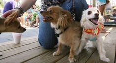 """It is not only good for Boo that he has lived to the ripe old age of 16, which is at least 77 in human years. It turned out to be a good thing for more than 80 other dogs, as well. The dachsund's """"Super Sweet 16"""" birthday party on Sept. 18 doubled as a fundraiser for the St. Francis Animal Sanctuary (SFAS), the largest no-kill pet center in the Southeastern United States."""