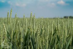 Green wheat on cereal field http://www.giopix.de/2016/06/green-wheat-on-cereal-field.html