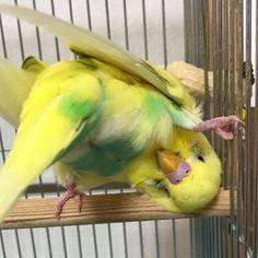 Cute parakeet just messing around. Funny Birds, Cute Birds, Pretty Birds, Beautiful Birds, Budgie Parakeet, Budgies, Parrots, Cockatiel, Cute Baby Animals