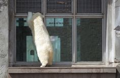 As polar bear cub Kali was having fun playing with his toy in the water, Luna seem only interested in connecting with humans on the other side of the glass  at the Buffalo Zoo, Wednesday, April 9, 2014.   (Sharon Cantillon/Buffalo News)