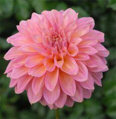 Cameo Peach - Item #038 Swan Island Dahlias. Their dahlias are STUNNING!