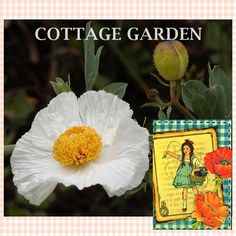 "POPPY PERSIAN WHITE ~ ""Poppy Of Peace"" ~ Papaver Somniferum ~ Edible ~ Cottage Garden Favorite ~ Average seed count 100!"
