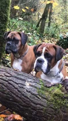 Boxer Dogs Henry and Ike intently concentrating on squirrel spotting at a favourite spot in the woods where they sometimes see one! Luckily for the squirrels these boys can't climb trees! Boxer And Baby, Boxer Love, Beautiful Dogs, Animals Beautiful, Cute Animals, Animals Dog, I Love Dogs, Cute Dogs, Cute Puppies