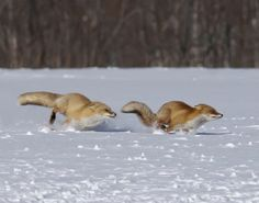 The winter race - Red Fox ~ hurry throckmorten if mom find's out we're gone....she's gonna be mad