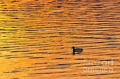 Water turns to gold Framed Prints, Canvas Prints, Tapestry, Fine Art, Lighting, Drawings, Artwork, Nature, Gold