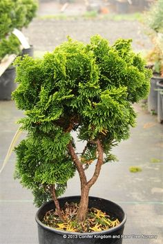 'Nana' dwarf Hinoki cypress: Dark-green foliage is arranged in a beautiful, swirling pattern. This compact dwarf conifer makes an excellent rock garden plant and is great for bonsai. USDA Zone 5. Sun to part shade.