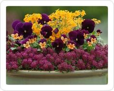 Spring Garden Containers | Cool-season mixed container with Alyssum, Erysimum, pansies & violas ..