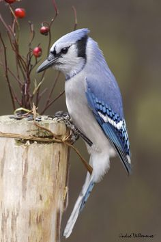 Blue Jay and berries by Andre Villeneuve