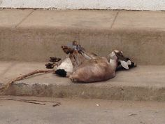 civas que mataran Camel, Meet, Animals, Animaux, Camels, Animal, Animales, Bactrian Camel, Animais